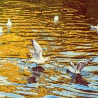 чайки в осеннем пруду :: Александра Мустафина