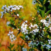 Цветет вишня :: Нина северянка