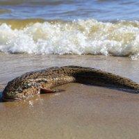Не только киты выбрасываются на берег! (отчаявшийся налим) :: Михаил