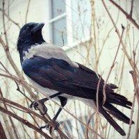 Ворона на передышке :: Роман Самотес