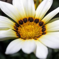 цветы :: Александр Черный
