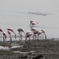 Мумбай Розовые фламинго. :: maikl falkon