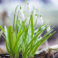 весна :: Соня Орешковая (Евгения Муравская)