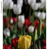 sarı lale :: Selman Şentürk