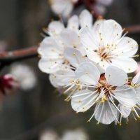 весенние цветы :: валентин яблонский