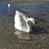 Лебедь-шипун весной (9) :: Сергей Садовничий