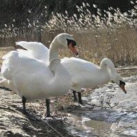 Лебедь-шипун весной (7) :: Сергей Садовничий