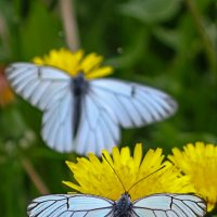 Бабочки :: Леонид Никитин