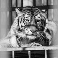 тигр :: Олег Рыжков