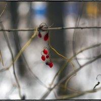 Красна ягодка зимою :: Юрий Клишин