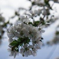 Черешня в цвету :: Елена Миронова