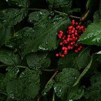 Волчья ягода :: Nn semonov_nn
