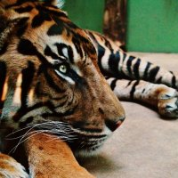 ZooPraha [tiger] :: Ira Bur