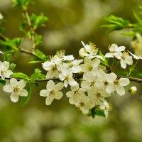 Цветение - это ведь повседневная жизнь ? :: Ольга Винницкая (Olenka)