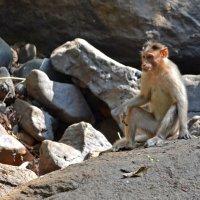 Индия. Это не в зоопарке, это в горах, окруженных джунглями :: Владимир Шибинский