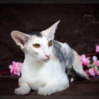 Фото Сет - изящных, элегантных домашних кошек породы . Петербургский сфинкс ( Петерболд ) :: Anna Dyatchina