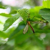 комар :: Дарья Метелина