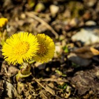 Весенние цветы :: Ирина Лебедева
