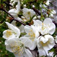 Будет вишня, вишневая... :: Александр Скамо