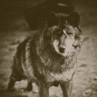 волк :: Константин Король