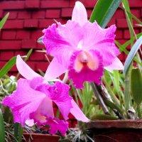 орхидея 4 :: Елена Байдакова