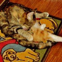 Вместо мыла-язычок,Кот свернулся на бочок,И давай лизать свой мех! Просто смех! :: Ольга Кривых