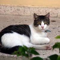 Кошки Кипра :: Александр Коликов