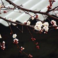 Сегодня у нас расцвели абрикосы :: Юлия Талалай