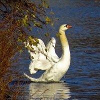Белые лебеди- счастья хранители :: Наталья Лакомова