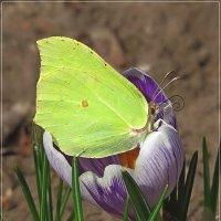 Первый крокус, первая бабочка... :: Андрей Медведев