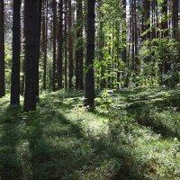 В сосновом лесу :: Наталья
