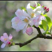 """""""..яблони в цвету,какое чудо..."""" :: Сергей Короленко"""