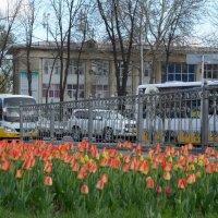 Тюльпаны в городе :: Александр Грищенко