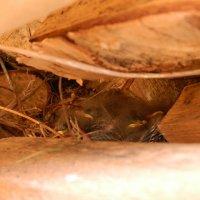 гнездо трясогузки :: нина Шманичева (Смурова)