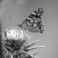 шифр крыльев бабочки... :: Павел Баз