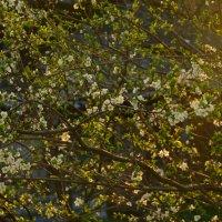 Весенние цветочки :: Костя Семак