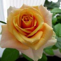 роза на окне :: Елена Байдакова
