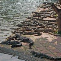 крокодилы :: Алексей Карташев