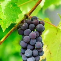 Белорусский виноград :: Анатолий Клепешнёв