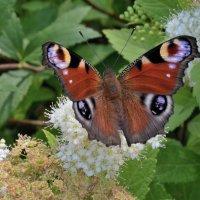 Бабочка 3 :: Viacheslav