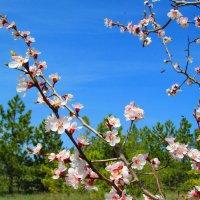 Абрикоса в цвету :: Marina Timoveewa