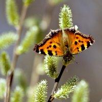 бабочка во всей красе :: Наталья Крюкова
