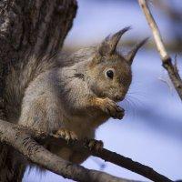 Белка песенки поет и орешки все грызет :: Sergey Lebedev