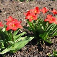 Ранние тюльпаны. :: Роланд Дубровский