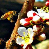 Пчела :: Татьяна Королёва