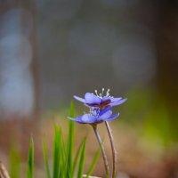 Первоцветы :: Татьяна Панчешная