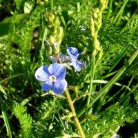 Скромный цветочек. :: Елизавета Успенская