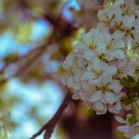 Цветущая вишня :: Lilit Oganisyan