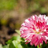 Flower :: Станислав Черноусиков