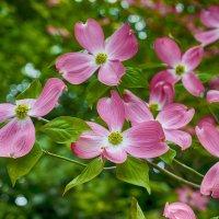 розовые мечты... :: Лариса Н
